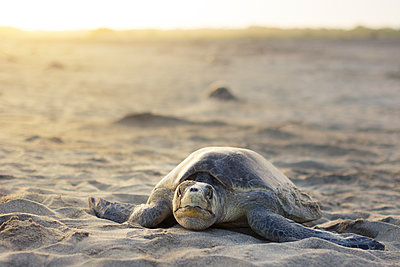 Olive Ridley Sea Turtle in Oaxaca, Mexico. - p343m1168119 by Andres Valencia