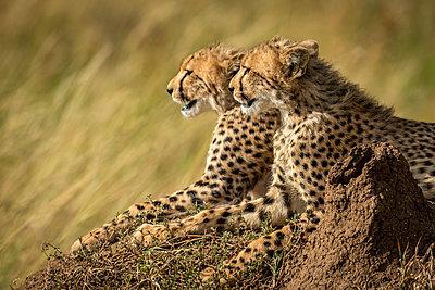 Close-up of cheetah cubs (Acinonyx jubatus) by termite mound, Serengeti; Tanzania - p442m2113844 by Nick Dale