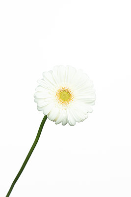 White gerbera in front of white background - p919m2195671 by Beowulf Sheehan