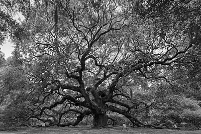 Old Southern Live Oak - p1480m2228743 by Brian W. Downs