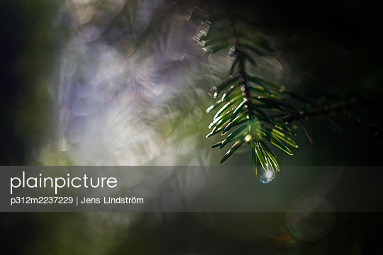 Water droplet on pine twig - p312m2237229 by Jens Lindström