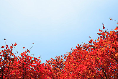 Japanese maple tree in autumn - p5143797f by AKIRA