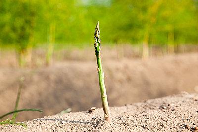 Green asparagus - p902m1065123 by Mölleken