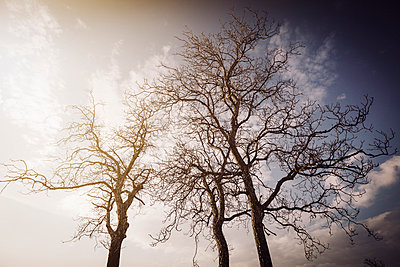 Trees silhouette in winter time with sun flare and blue sky - p968m952952 by Roberto Pastrovicchio