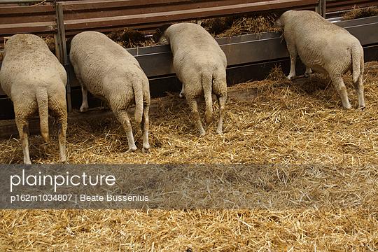 Hinterteil von 4 Schafen - p162m1034807 von Beate Bussenius