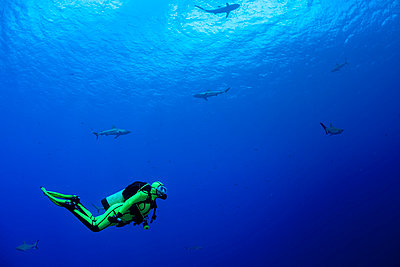 Oceania, Micronesia, Yap, Diver with grey reef sharks, Carcharhinus amblyrhynchos - p300m975144f by Guido Floren