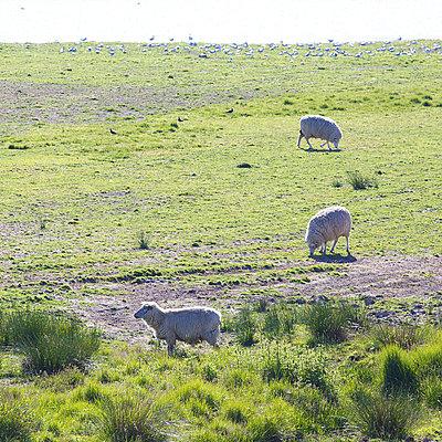 Schafe im Gegenlicht - p606m957501 von Iris Friedrich