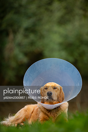 Spain, Mallorca, Golden retriever wearing protective collar lying on grass - p924m2300857 by RUSS ROHDE