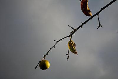 Apfel - p1085m1064376 von David Carreno Hansen
