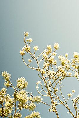 Pine branch in winter - p1657m2257712 by Kornelia Rumberg