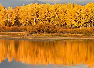 autumn aspens reflected in snake river - p44213038f by David Ponton