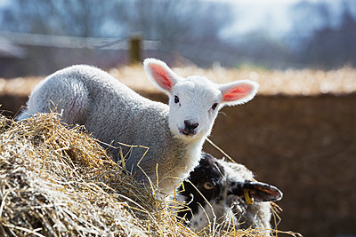 Newborn lamb peeking out from behind a bale of straw. - p1100m1450943 by Mint Images