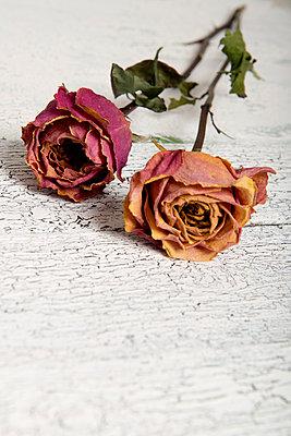 Vertrocknete Rosen - p451m972665 von Anja Weber-Decker