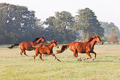 Horses at a gallop - p570m908545 by Elke Röbken