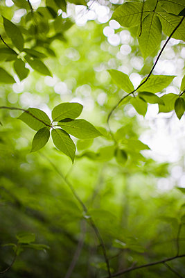 Close-up Of Green Leaves - p816m913466 by Haakon Harriss