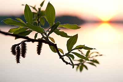 Spring sprout of a willow tree - p533m1589681 by Böhm Monika
