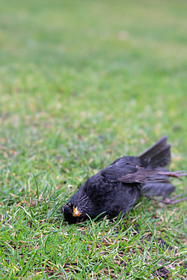 Dead blackbird - p739m2071159 by Baertels