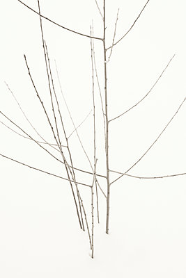 Branches against white background - p1335m1222577 by Daniel Cullen
