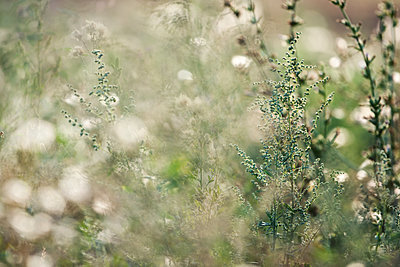 Meadow with white flowers - p1640m2245909 by Holly & John