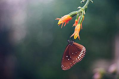 Schmetterling an einer Blume - p1696m2296533 von Alexander Schönberg