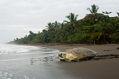 Green Sea Turtle female returning to sea after laying eggs, Tortuguero National Park, Costa Rica - p884m1510104 by Sebastian Kennerknecht