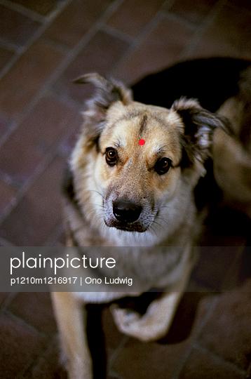 Hund mit Bindi - p1210m1216917 von Ono Ludwig