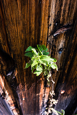 Stinging nettle - p488m932689 by Bias
