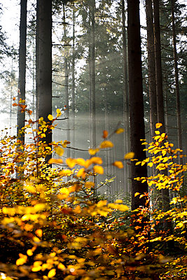 Sunbeams in the forest - p533m1111586 by Böhm Monika