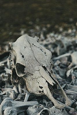 Animal skull, close-up - p1640m2261140 by Holly & John