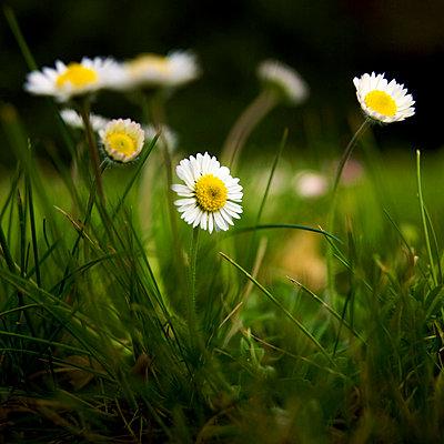 Daisies - p8130492 by B.Jaubert