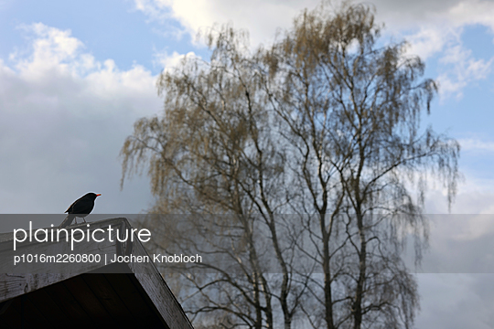 Blackbird on a roof, tree in the background - p1016m2260800 by Jochen Knobloch