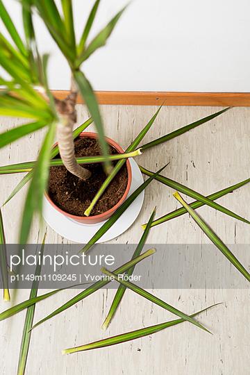Zimmerpflanze verliert Blätter - p1149m1109245 von Yvonne Röder
