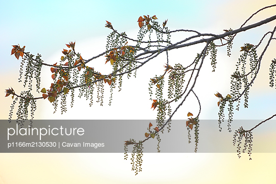 Male and female catkins of a poplar. Populus sp - p1166m2130530 by Cavan Images