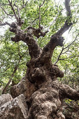 Greece, Crete, Kato Zakros, Gorge of the Dead, gnarled tree - p300m1469742 by Christophe Papke