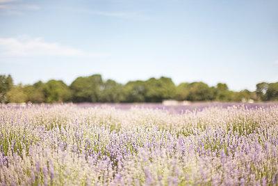Lavender - p579m1203325 by Yabo