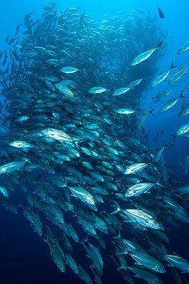 Shoal of Big Eye Jacks (Caranx Sexfasciatus) Cabo Pulmo, Baja California Sue, Mexico - p924m1052077f by Rodrigo Friscione