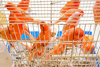 Cadged birds being sold at street market - p1201m1008156 by Paul Abbitt
