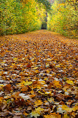 Germany, Bavaria, Aschheim, alley covered with autumn leaves - p300m926340f by Axel Ganguin