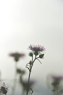 Blossoms of  thistles in back light - p533m2015594 by Böhm Monika