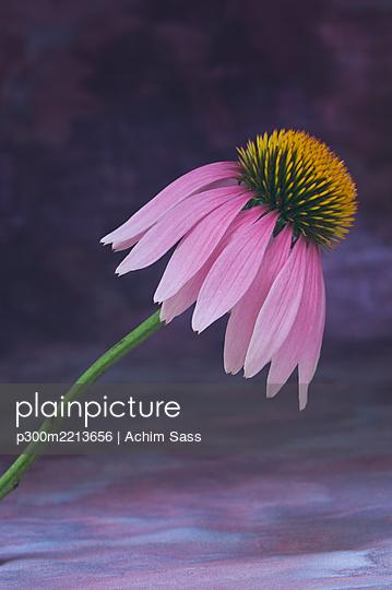 Purple coneflower (Echinacea purpurea) - p300m2213656 by Achim Sass