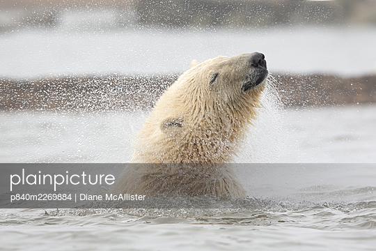 Polar bear (Ursus maritimus) juvenile shakes its head while in the Beaufort Sea, Kaktovik Alaska, USA. October. - p840m2269884 by Diane McAllister