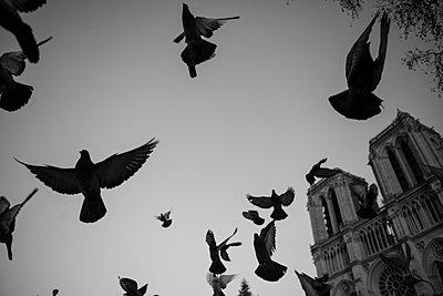 Tauben am Notre Dame - p1129m1042681 von ROBINSIMON