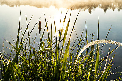 Grass with dew drops on the bank of a lake - p1312m2275844 by Axel Killian