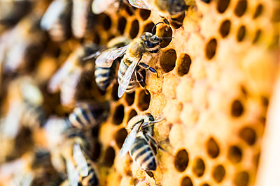 Close-up of bees on honeycomb - p300m2140505 by Jan Tepass