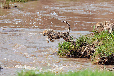 Jumping cheetah cub - p533m1134181 by Böhm Monika