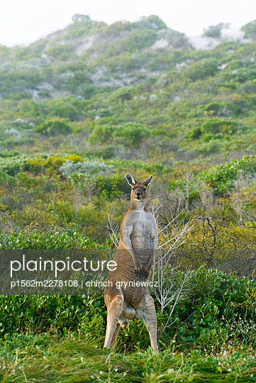 Upright Male Western Grey Kangaroo - p1562m2278108 by chinch gryniewicz