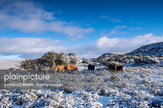 Cattle In The Snow - p1655m2288880 by lindsay basson