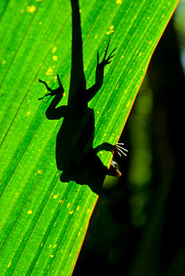 Little Gecko behind a illuminated palm leaf, Vallee de Mai, UNESCO World Heritage Site, Praslin, Seychelles, Africa  - p8713565 by Michael Runkel