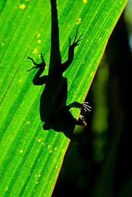 Little Gecko behind a illuminated palm leaf, Vallee de Mai, UNESCO World Heritage Site, Praslin, Seychelles, Africa  - p8713565 by Michael Runkel