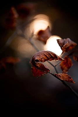 Withered beech leaves - p533m1111573 by Böhm Monika